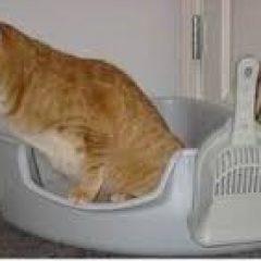 דלקת שלפוחית השתן של חתולים ממקור לא ידוע. Feline idiopathic cystitis