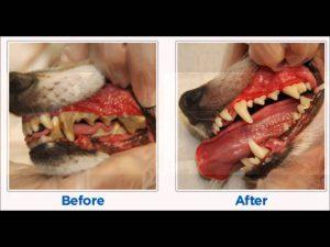 לפני ואחרי ניקוי שיניים בכלבים וחתולים