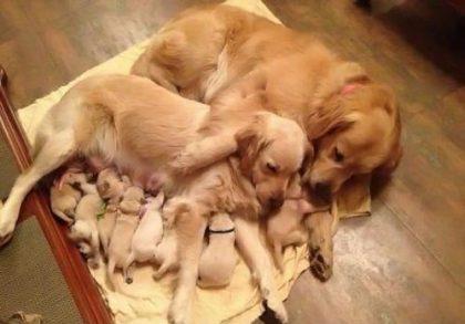 False Pregnancy in Female Dogs