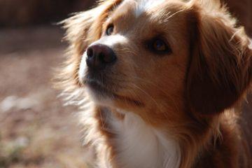 מחלות הערמונית בכלבים, בלוטת הפרוסטטה בכלבים