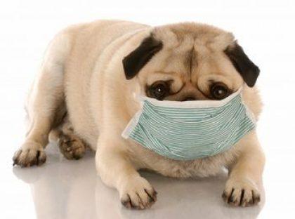 נגיף הקורונה בכלבים- קורונה בכלבים-הדבקה בקורונה בכלבים- וירוס קורונה בכלבים