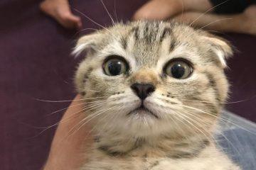 הרעלת פירתרואידים בחתולים- הרעלת חומר לפרעושים בחתולים- הרעלה מריסוס נגד חרקים בבית בחתולים-וטרינר ביקור בית תל אביב, וטרינר נייד תל אביב